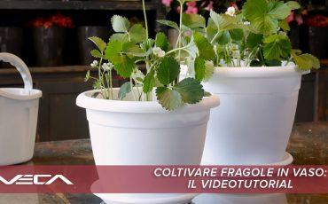 Coltivare le fragole in vaso: il video tutorial
