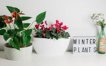Scopri tutte le piante e i fiori che sbocciano nel periodo natalizio