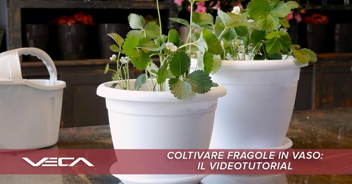 coltivare-fragole-in-vaso-videotutorial