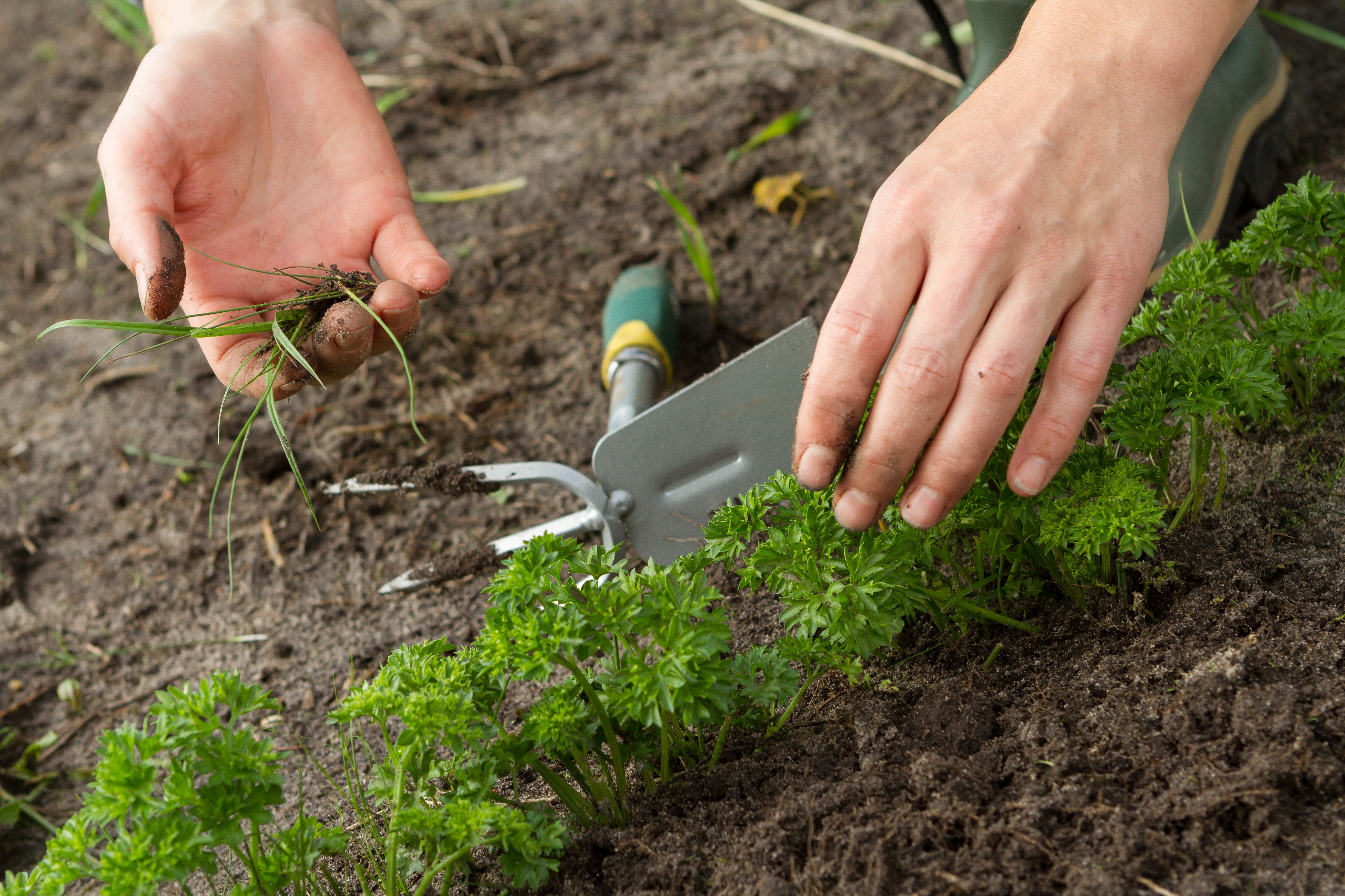 woman hands weeding parsley bed
