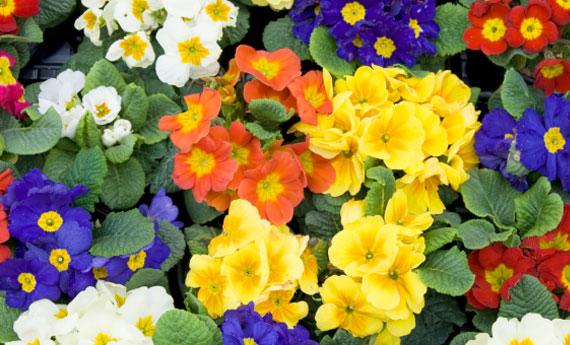 fiori di maggio - primule